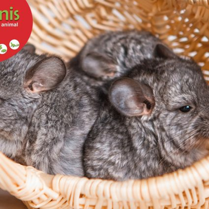 Chinchillas procanis