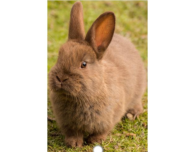 Les lapins et les rongeurs