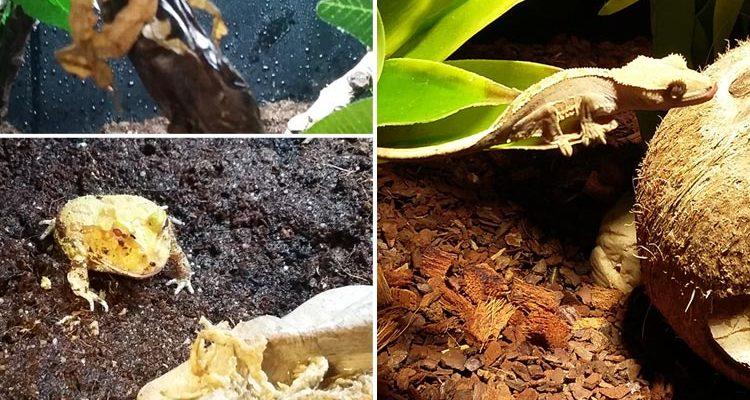 grenouille, phasmes et gecko à crête